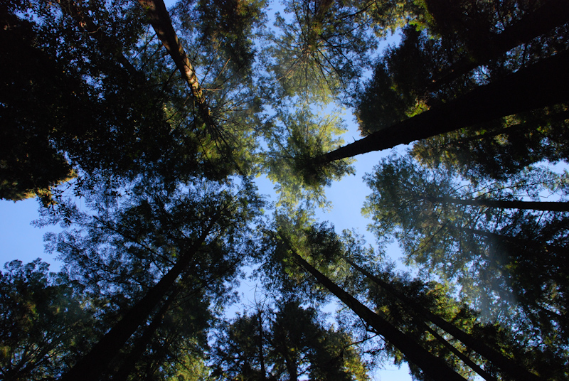 Redwoods reaching
